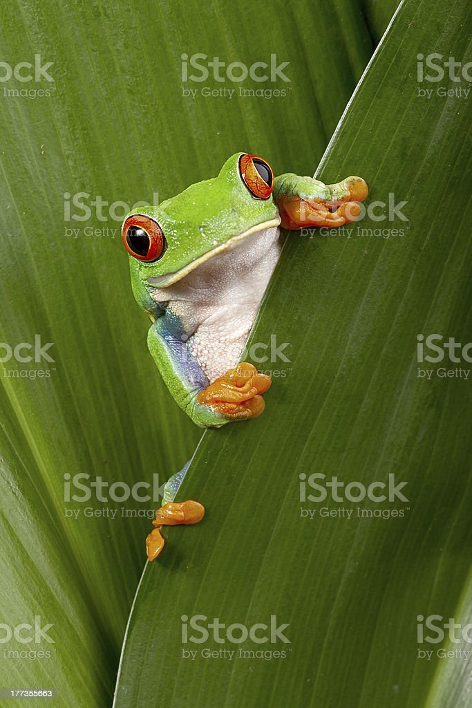 Close-up of a bright green red-eyes tree frog over a leaf stock photo