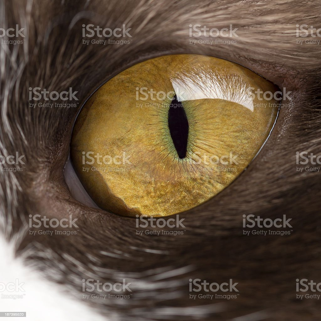 Close-up of a British Longhair's eye stock photo