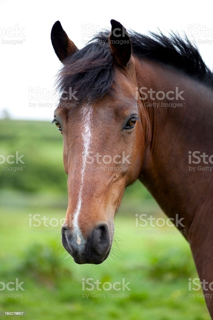 A close-up of a brown horse's face in front of a field stock photo