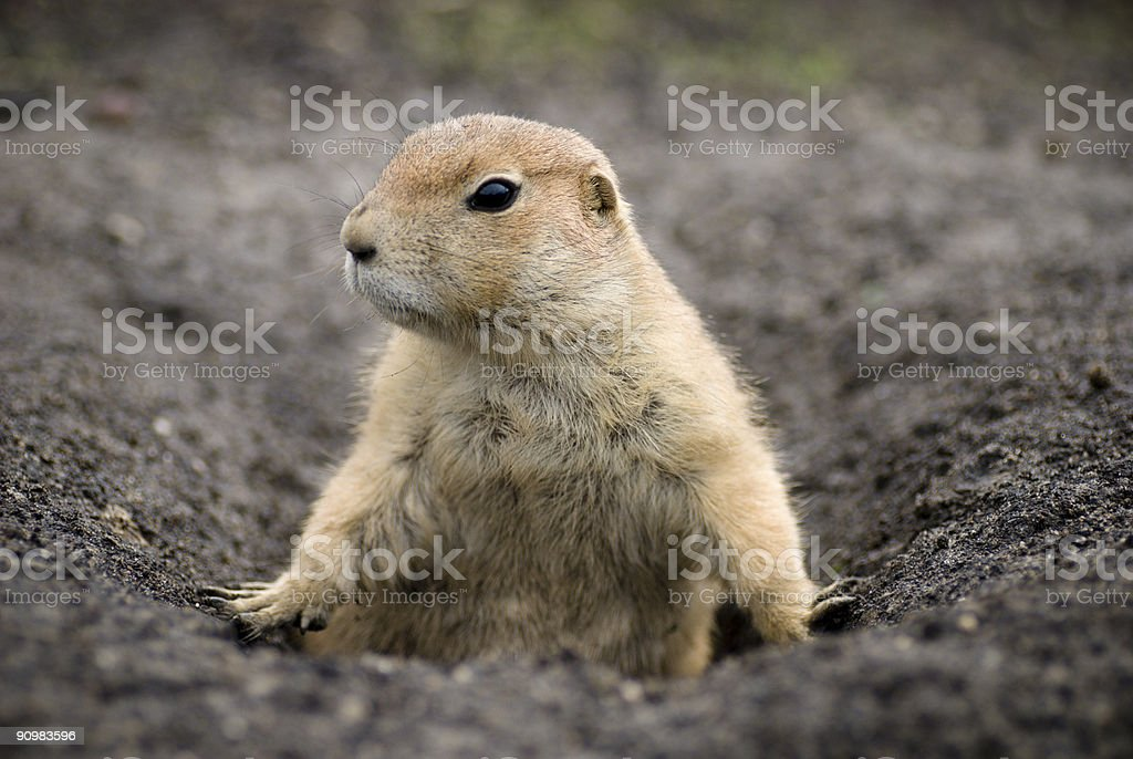 Close-up of a brown prairie dog coming out of his den stock photo
