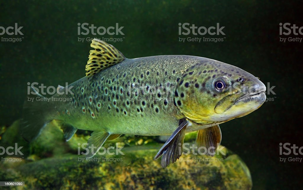 A close-up of a brown trout swimming in the water stock photo