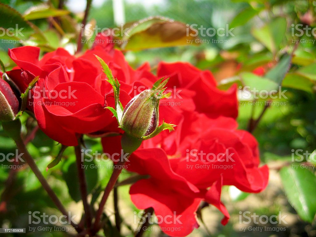 Close-up of a bud and red opened roses in a garden royalty-free stock photo