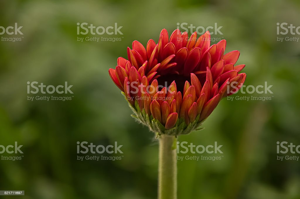 Closeup of a budding Gerbera plant in a large greenhouse stock photo