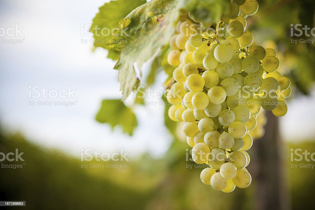 Close-up of a bunch of green grapes stock photo