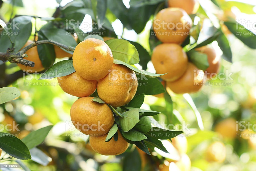 Close-up of a bunch of ripe oranges in a tree stock photo