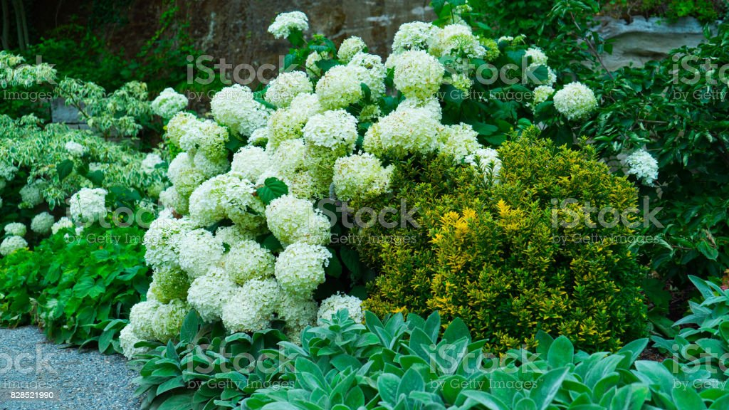 Close-up of a bush with white hydrangea flowers. stock photo