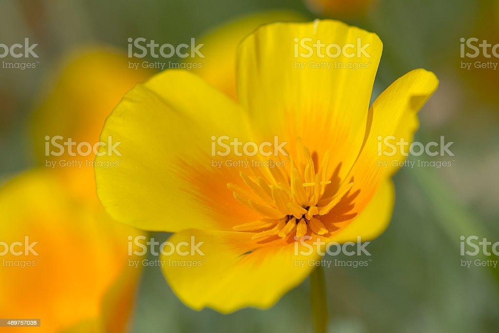 Closeup of a butter flower blossom stock photo