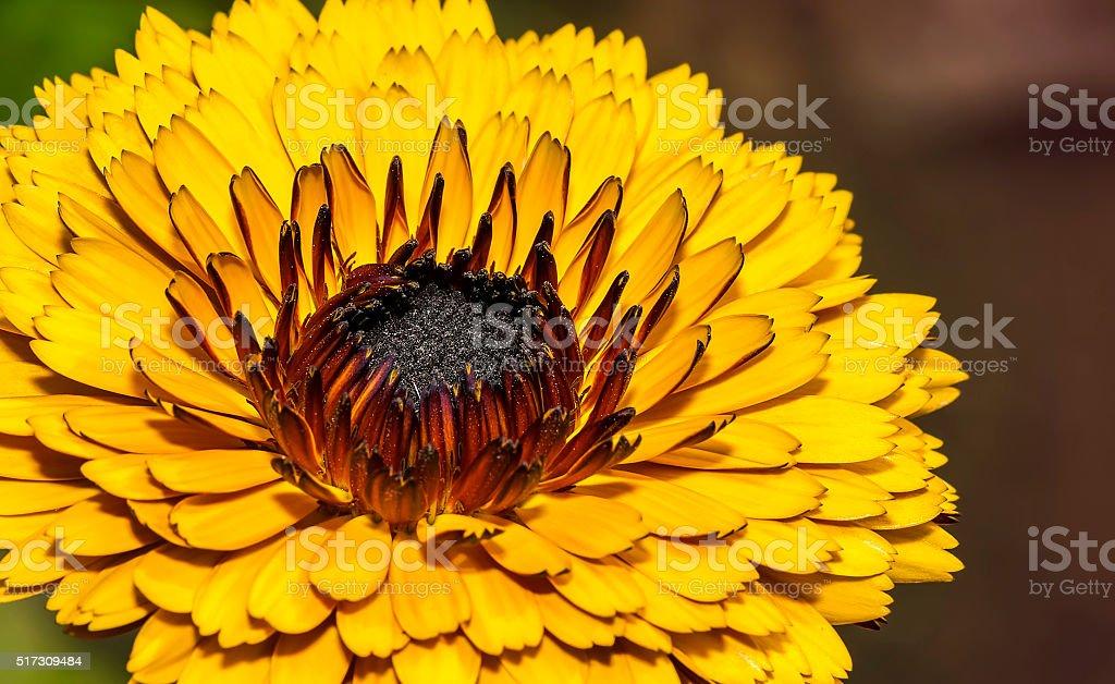 Closeup of a Calendula flower in a garden stock photo