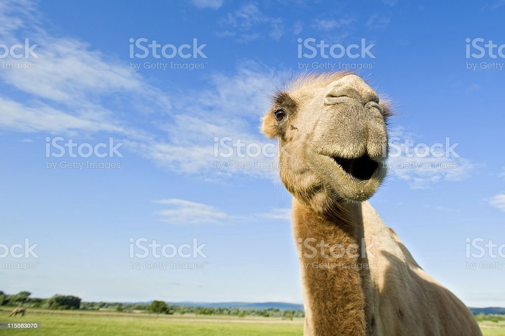 Close-up of a camel in grassy field under blue sky stock photo