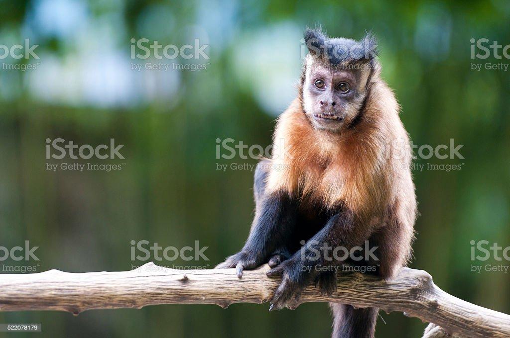 closeup of a capuchin monkey stock photo