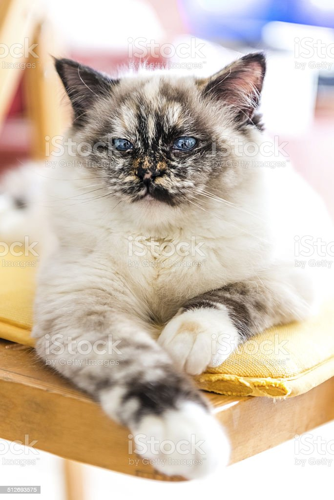 Close-up of a cat posing stretched out on a chair. stock photo
