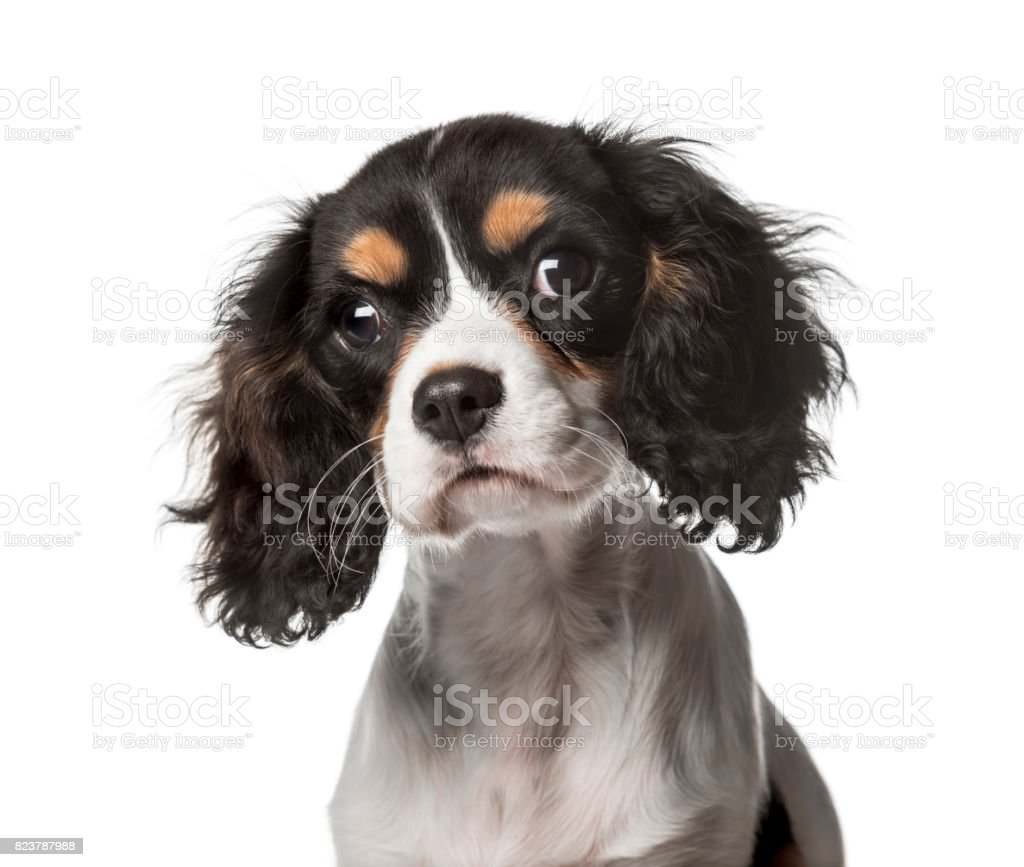 Close-up of a Cavalier King Charles, isolated on white stock photo