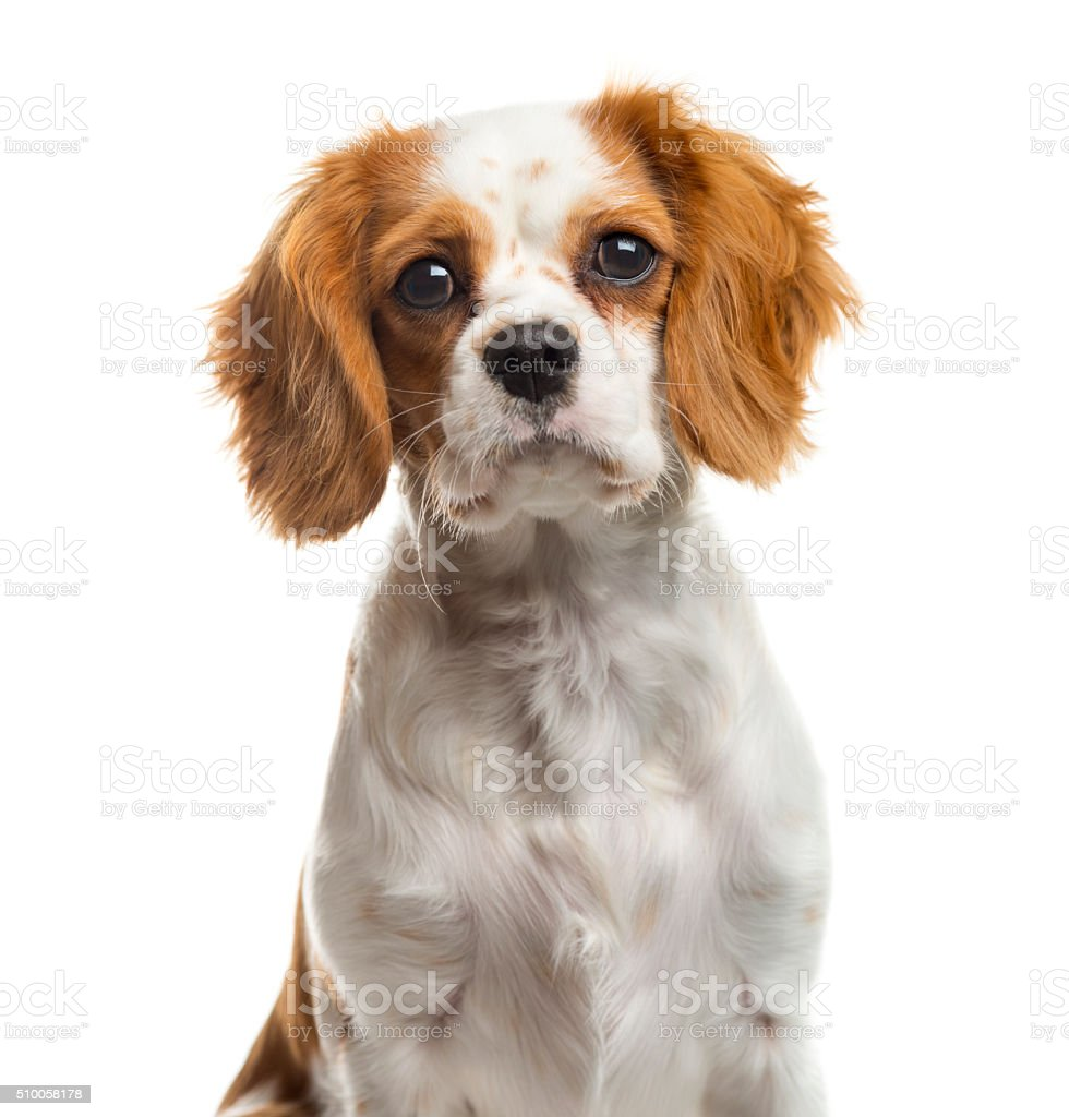 Close-up of a Cavalier Kingin front of a white background stock photo