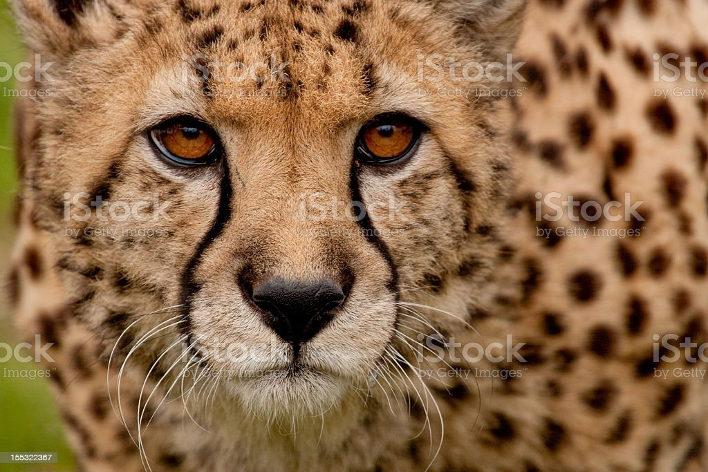 A close-up of a cheetahs face looking at the camera stock photo