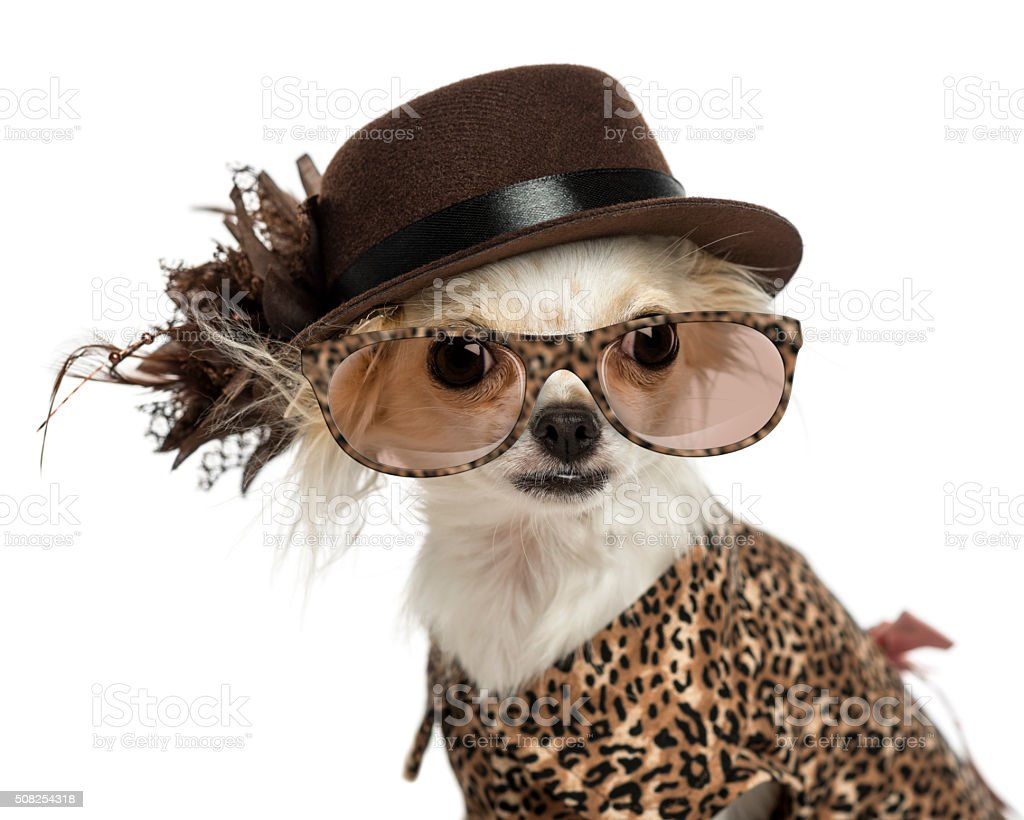 Close-up of a Chihuahua wearing a hat and glasses, stock photo