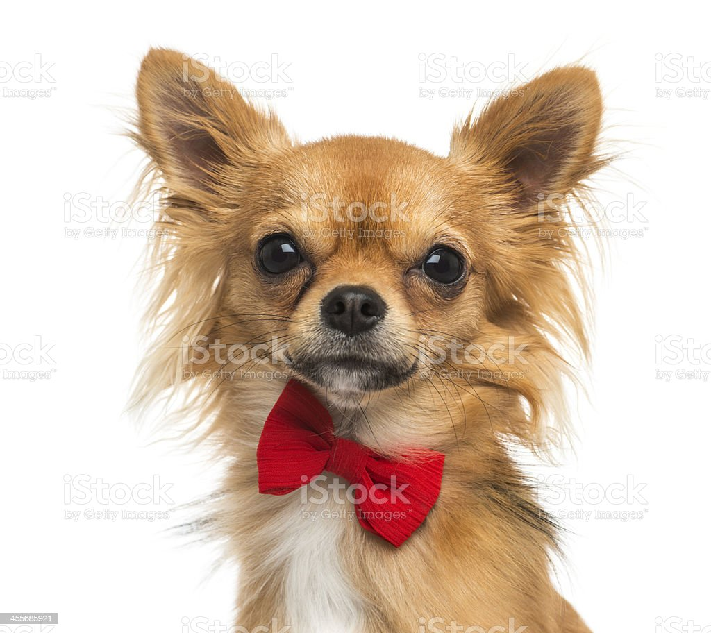 Close-up of a Chihuahua wearing bow tie stock photo