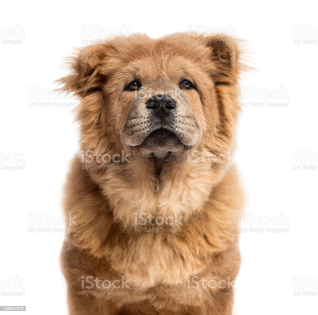 Close-up of a Chow-Chow in front of a white background stock photo