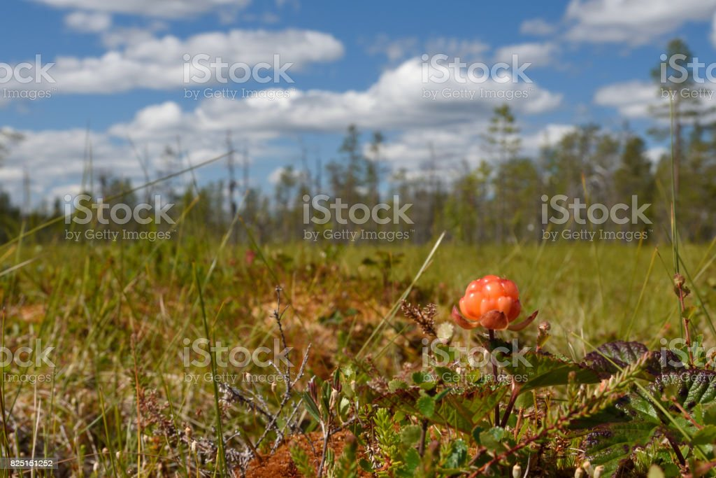 Closeup of a Cloud berry on a morass stock photo