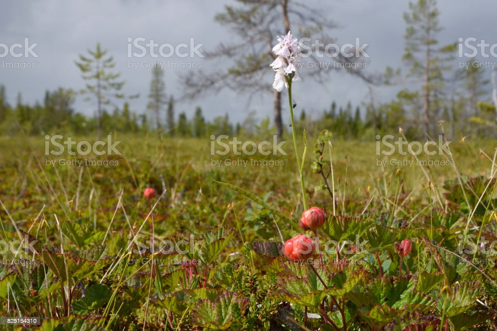 Closeup of a cloud berry on a morass with a Heath Spotted-orchid (Dactylorhiza maculata) in background stock photo