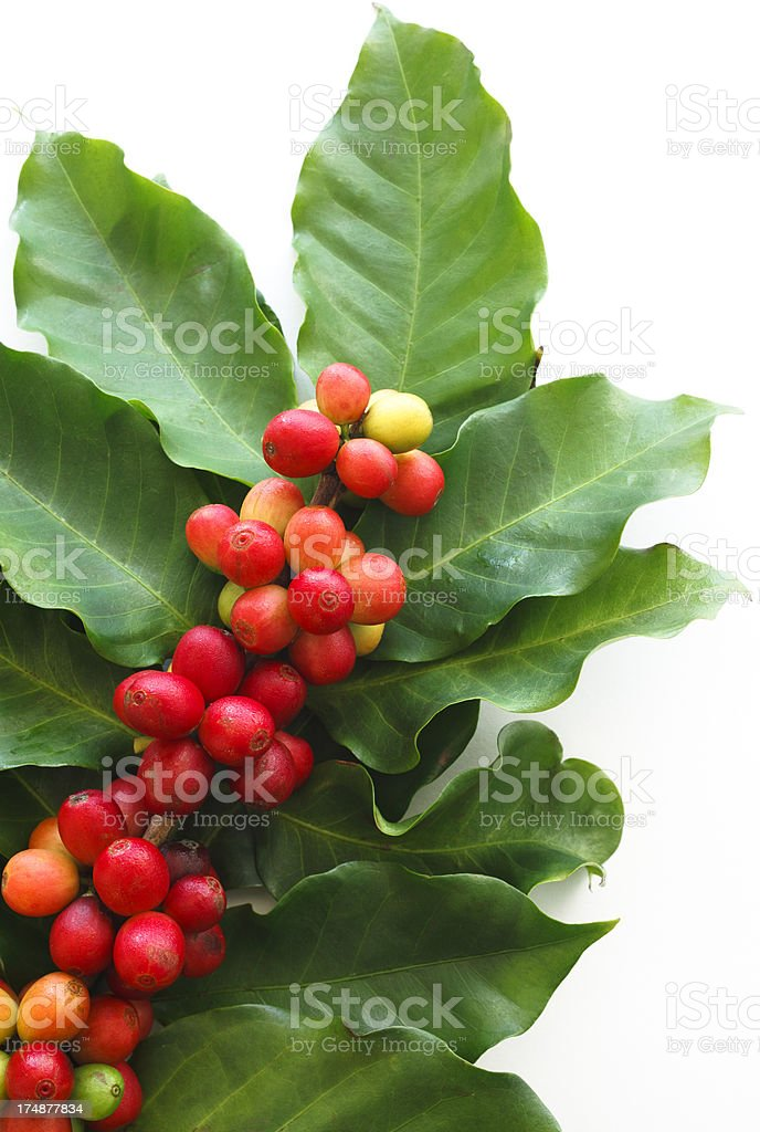 Close-up of a coffee tree branch on white background stock photo