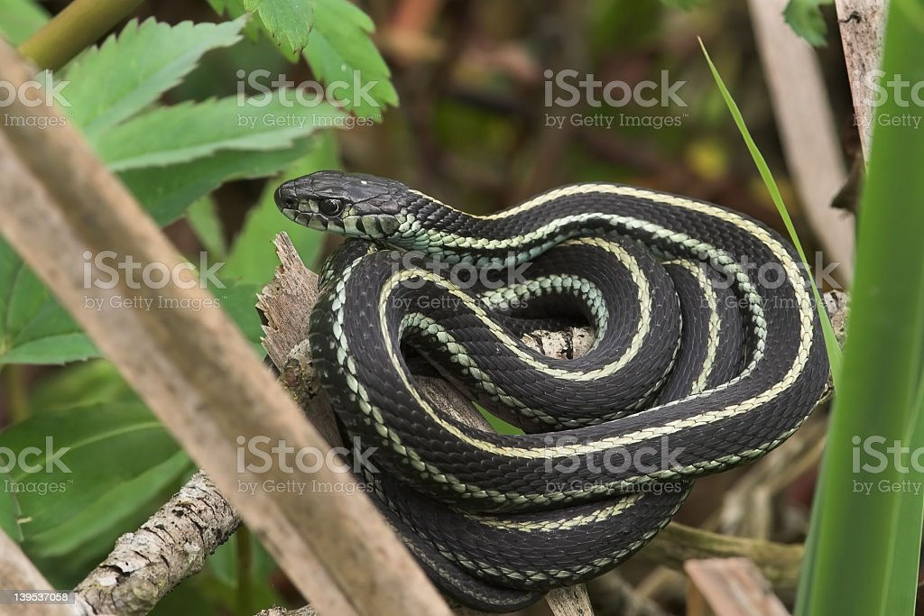Close-up of a coiled garden snake on a branch stock photo