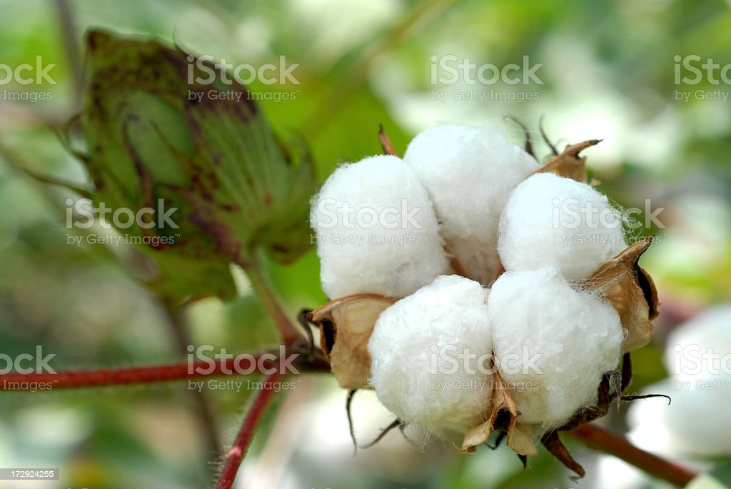 Close-up of a cotton ball plant royalty-free stock photo