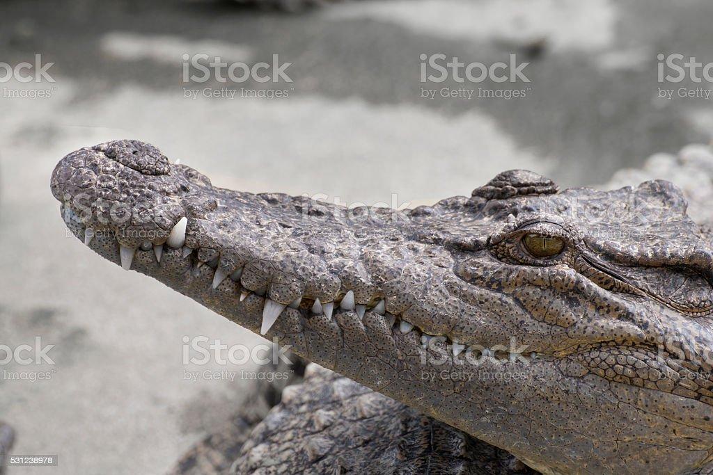close-up of a crocodile. stock photo