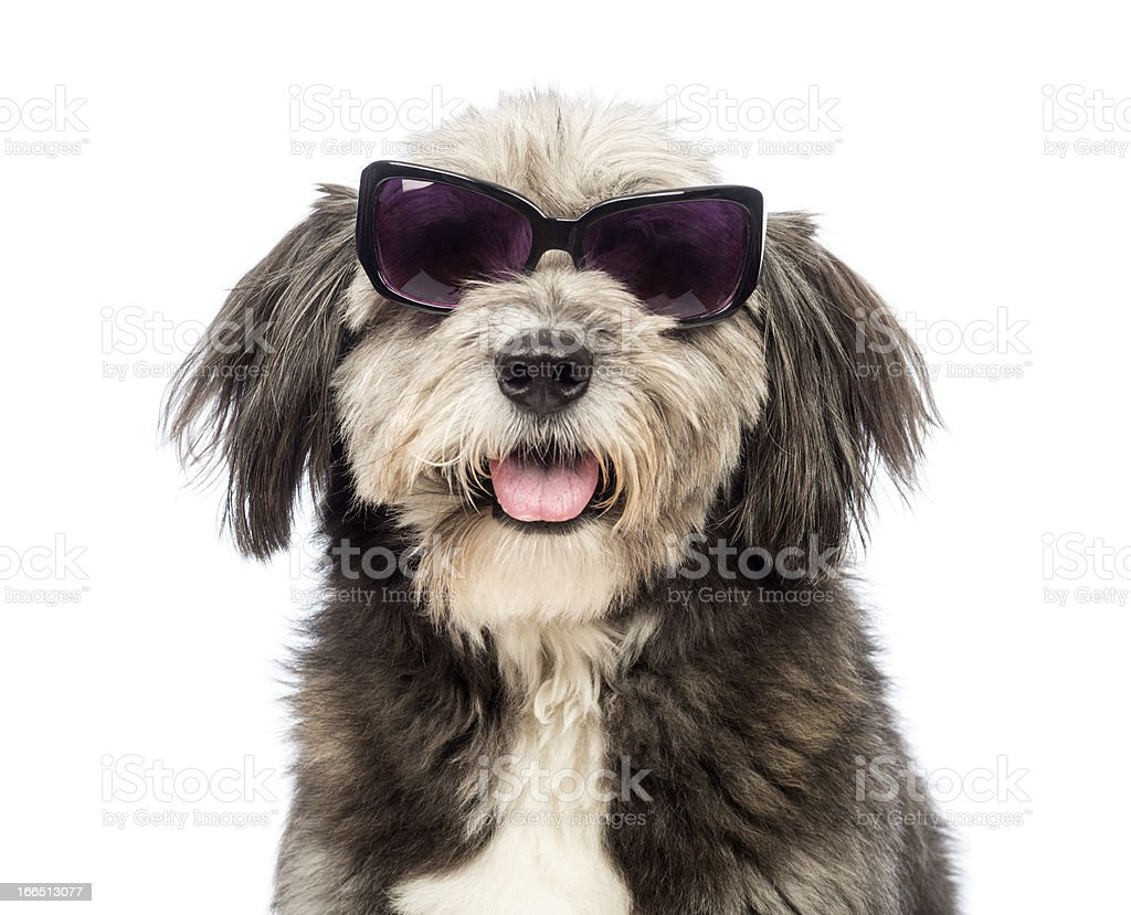 Close-up of a Crossbreed, 4 years old, wearing sunglasses royalty-free stock photo