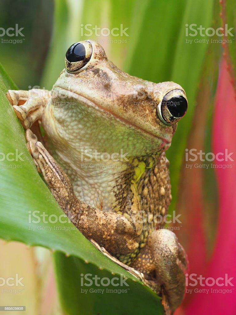 Closeup of a Cuban Tree Frog on a Bromeliad stock photo
