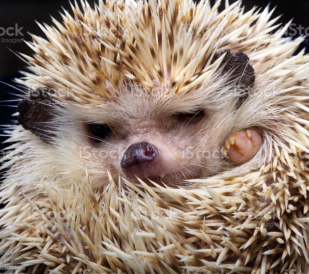 A closeup of a curled up pygmy hedgehog stock photo