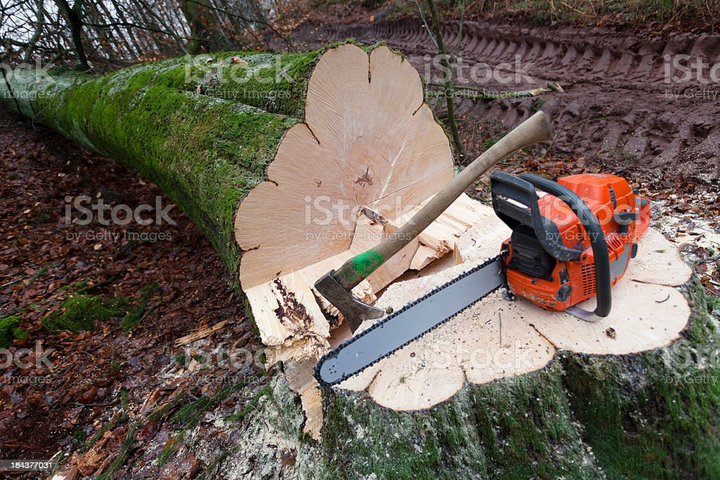 Close-up of a cut down tree with a saw and ax on the trunk stock photo
