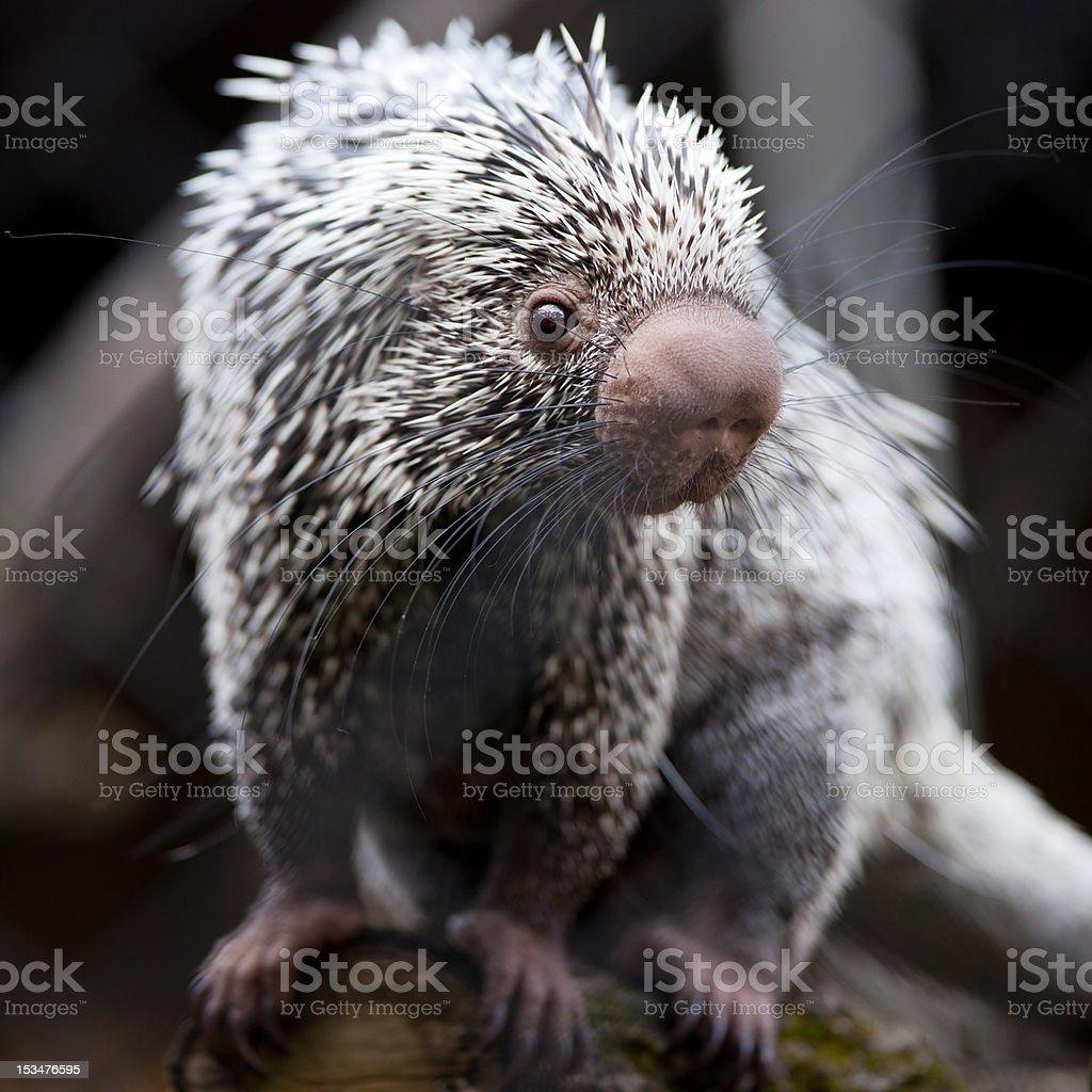 Close-up of a cute Brazilian Porcupine (Coendou prehensilis; shallow DOF) royalty-free stock photo