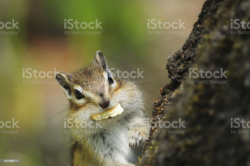 Closeup of a cute chipmunk on tree stump royalty-free stock photo