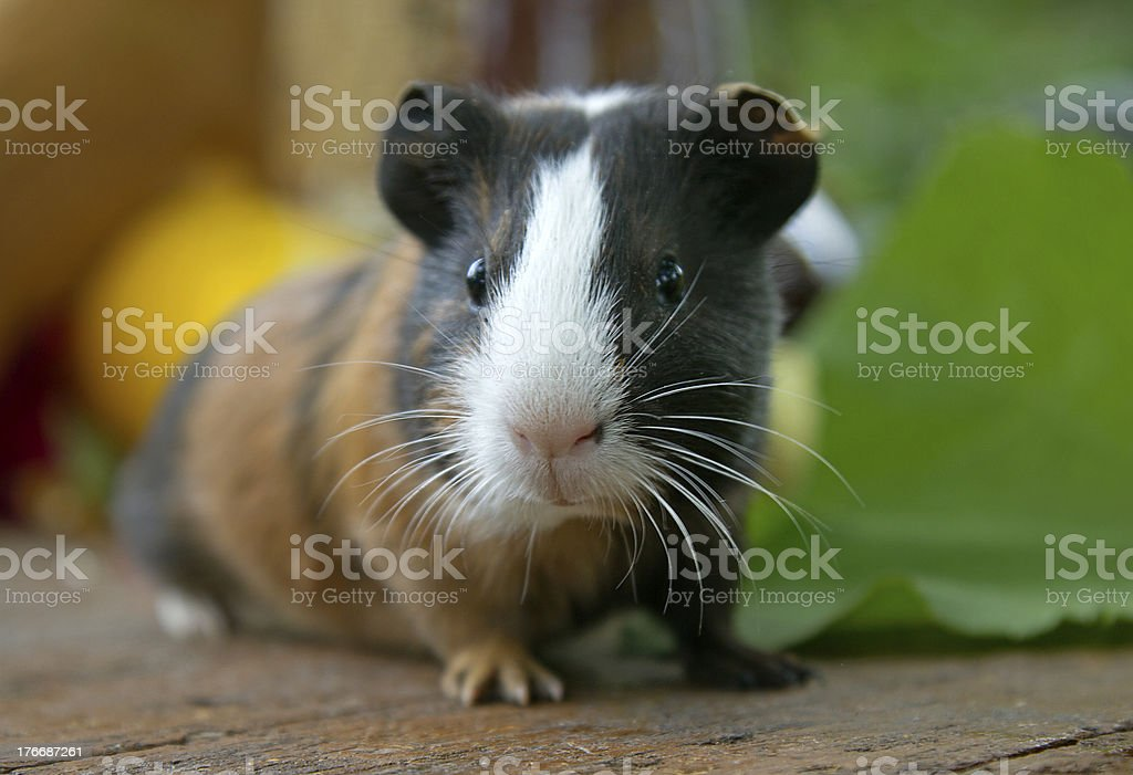 A close-up of a cute guinea pig stock photo