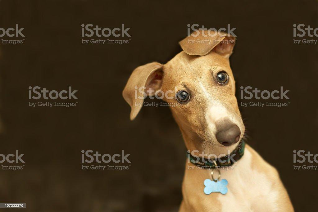 Close-up of a cute Italian greyhound with bone collar belt stock photo