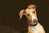 Close-up of a cute Italian greyhound with bone collar belt