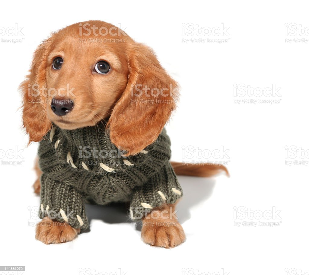 A close-up of a Dachschund puppy in a green sweater royalty-free stock photo