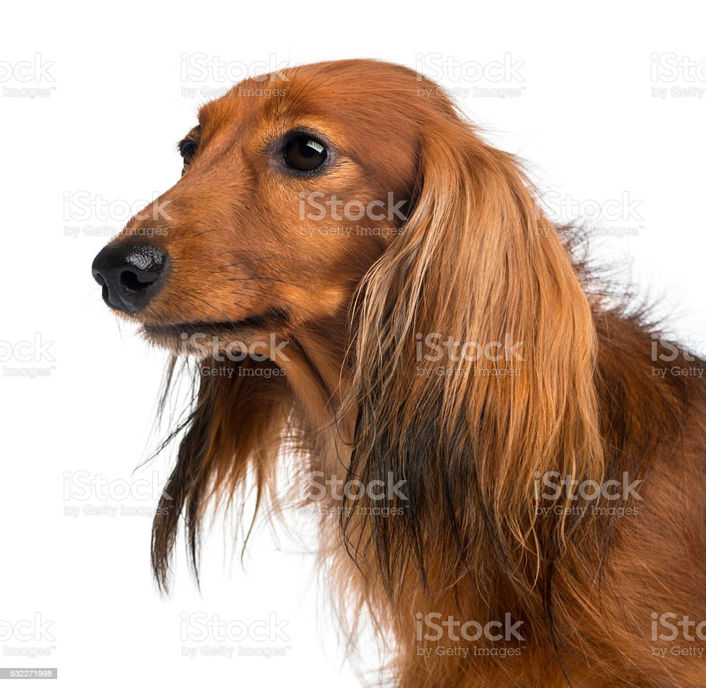 Close-up of a Dachshund, 4 years old, against white background stock photo