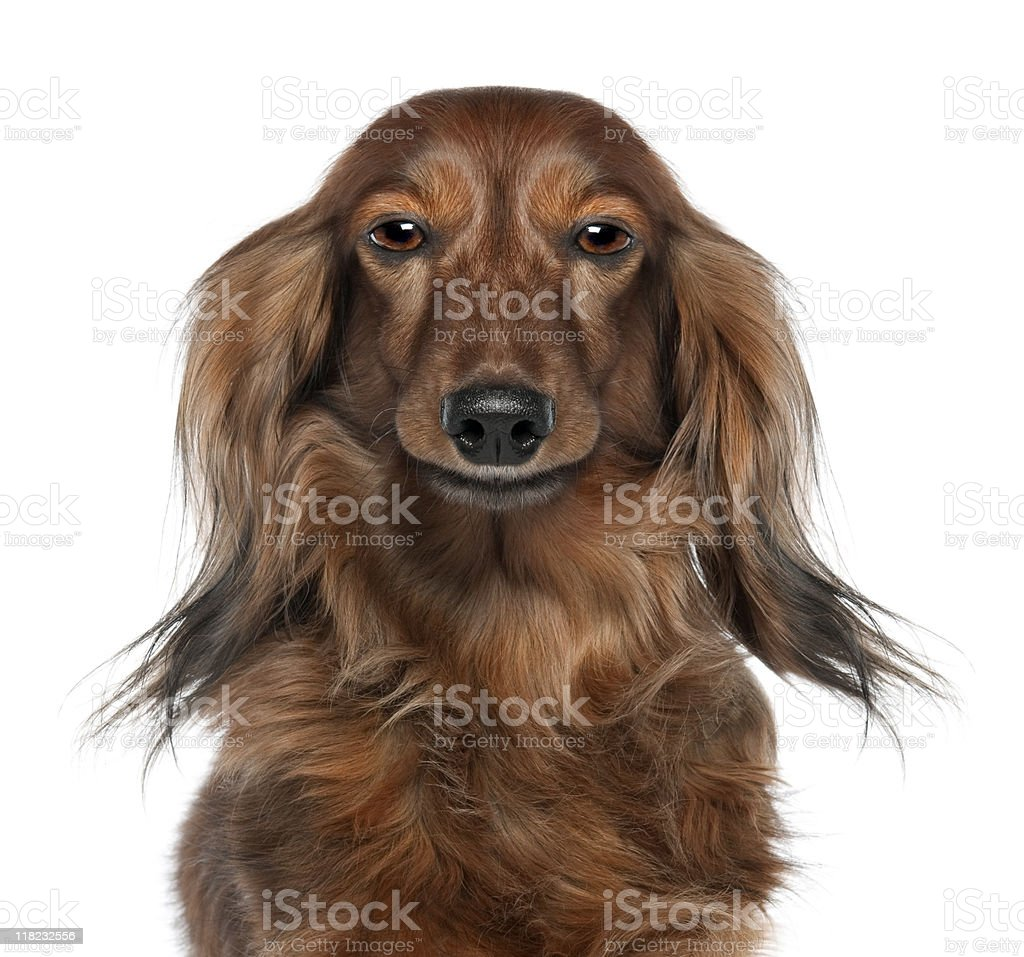 Close-up of a Dachshund's head (Digital enhancement) stock photo