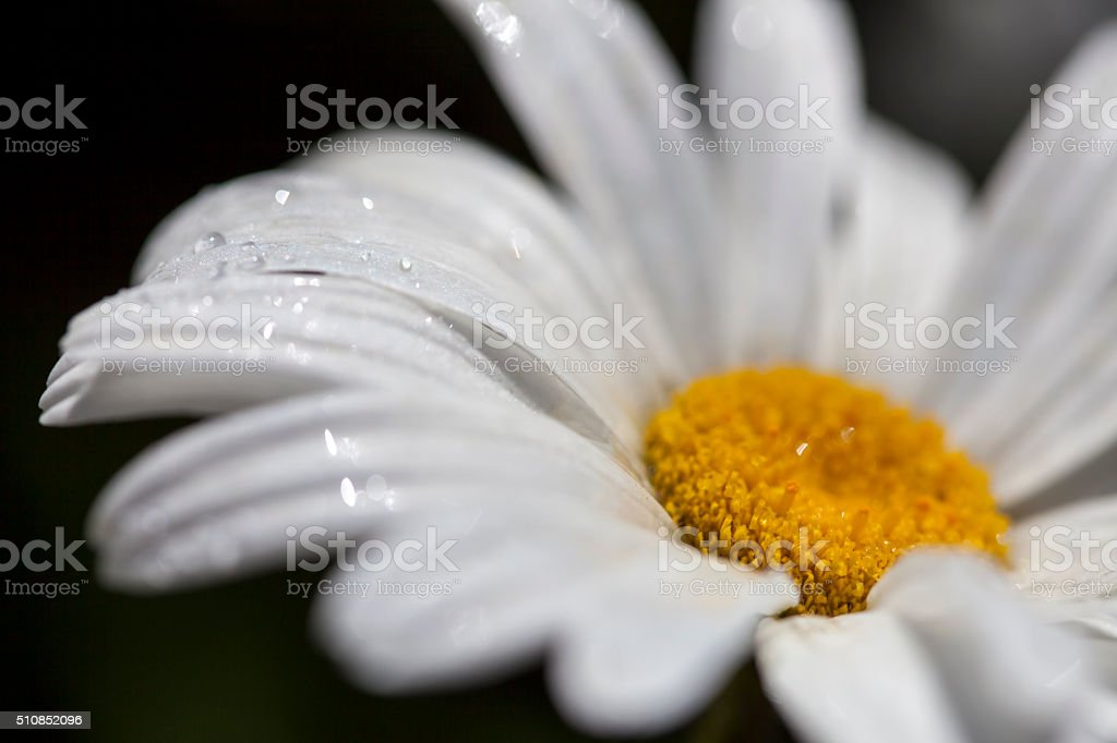 Close-up of a daisy flower with rain drops stock photo