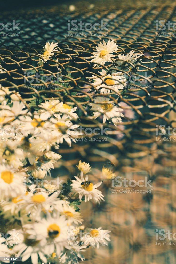 Close-up of a daisy garden stock photo