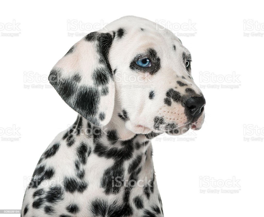 Close-up of a Dalmatian puppy with heterochromia stock photo