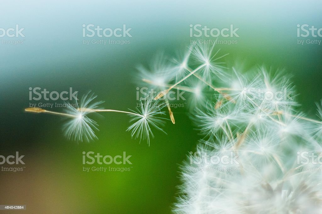 Close-up of a dandelion blow ball and flying seeds stock photo
