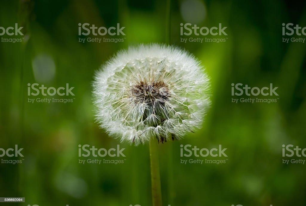 Closeup of a dandelion stock photo