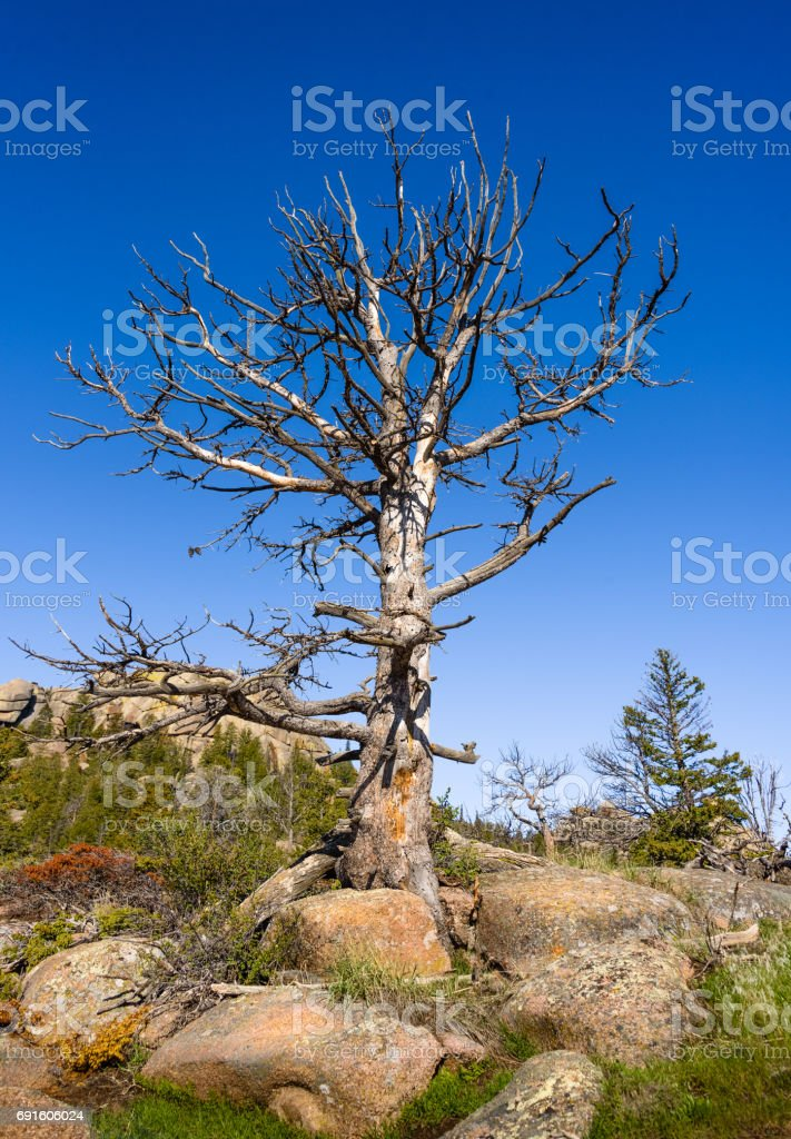 Closeup of a dead tree on rocks, high altitude in the mountain woods, blue sky and green forest background. Destroyed by insect parasites, bark beetles. Vedauwoo National Park, Wyoming, USA stock photo