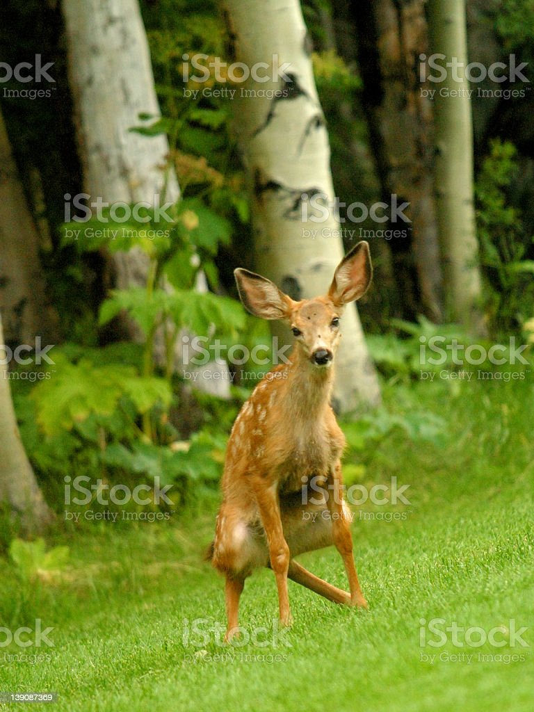 A closeup of a deer taking a poop stock photo