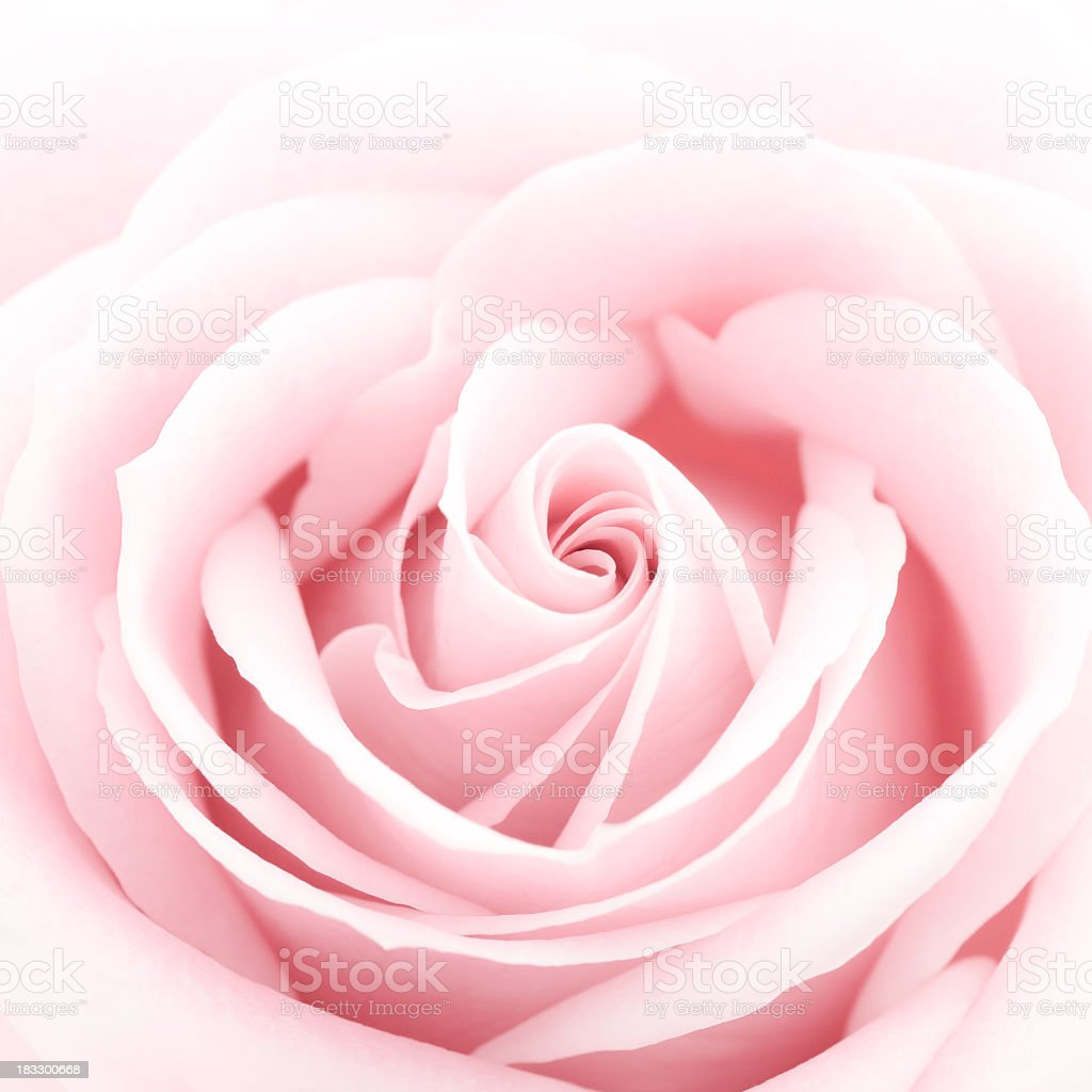 A close-up of a delicate pink rose stock photo