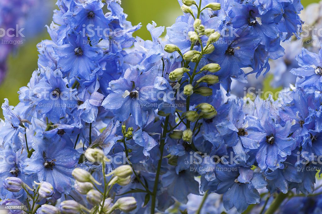 Close-up of a delphinium in garden royalty-free stock photo