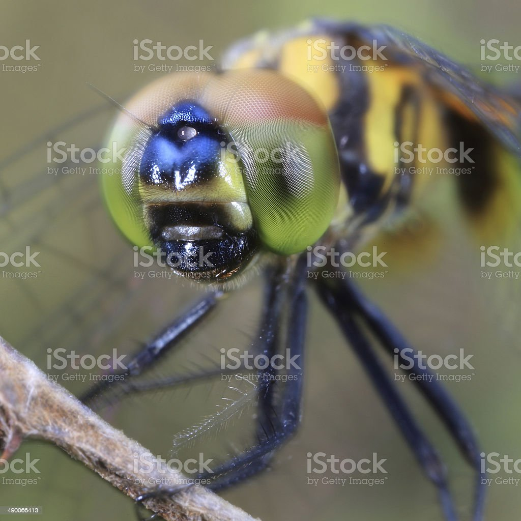 Closeup of a dragonfly royalty-free stock photo
