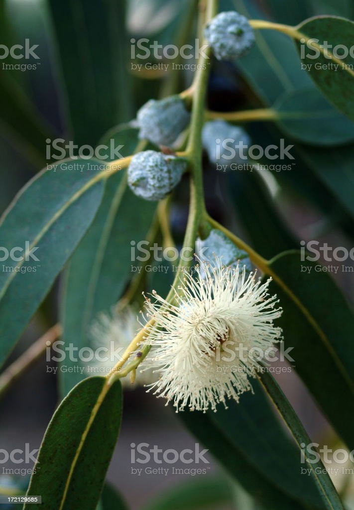 Close-up of a Eucalyptus plant and flower stock photo